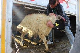 740 Baş Akkaraman Koyunu  Genç Çiftçilere Teslim Edildi