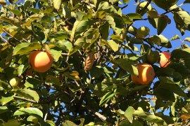 Göksu Havzasında Cennet Meyvesi  Hasadı Başladı