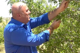 Karaman'da Badem Üreticilerimizin Yüzü Gülüyor