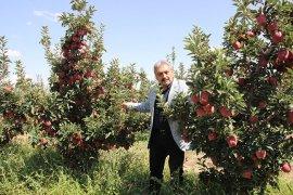Karaman'da elma hasadı başladı