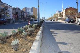 Karaman Belediyesi orta refüj ve kavşaklara lavanta fidanı dikiyor.