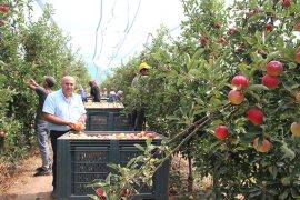 Karaman'da erkenci elma hasadı başladı
