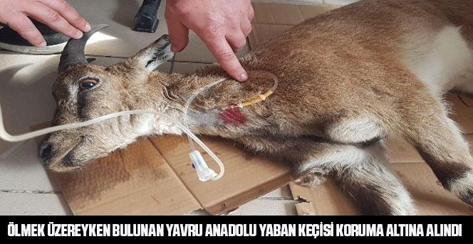 Yavru Anadolu yaban keçisi koruma altına alındı