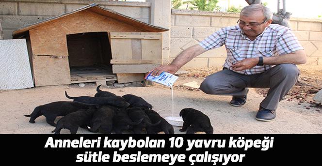 Anneleri kaybolan 10 yavru köpeği Sütle besliyor