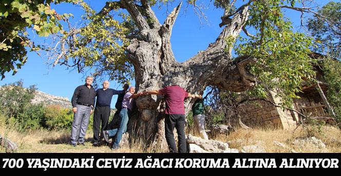Ermenek'te 700 yaşındaki Ceviz ağacı koruma altına alınıyor
